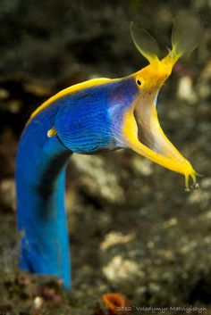 Ribbon Eel.  Never seen an Eel so colorful before?!