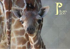 """Giraffe Male Calf Born: July 25th, 2016 Height: 5""""4"""" Weight: 102.5 lbs Peoria Zoo"""