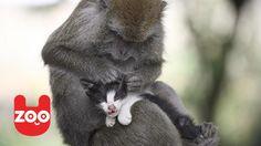 Monkey Raises Kitten