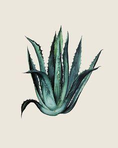 Agaves, Plant Illustration, Botanical Illustration, Small Shoulder Tattoos, Plant Tattoo, Agave Plant, Desert Plants, Botanical Prints, Botanical Decor