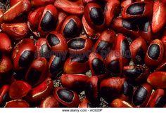 Seeds of Natal mahogany tree (Trichilia emetica) Nelspruit, Mpumalanga South Africa - Stock Image