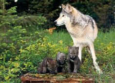 Wolf and her pups  STOP KILLING WOLVES !