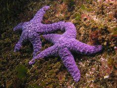 purple sea stars!