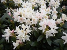 rhododendrums by kazza74 on pinterest evergreen shrubs. Black Bedroom Furniture Sets. Home Design Ideas