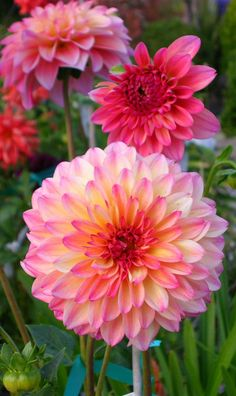 September Morn Dahlia formal decorative form with 5 rose and yellow blooms grows to 5 ft tall Sue Gregori sg creations Gardening Living Exotic Flowers, Amazing Flowers, Beautiful Roses, Pretty Flowers, Dahlia Flowers, Prettiest Flowers, Small Flowers, Colorful Flowers, September Morn