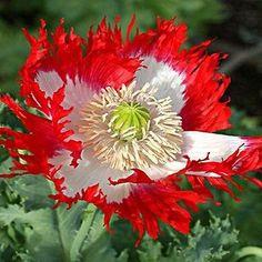 Poppy Danish Flag Flower Seeds (Papaver Somniferum) 200+Seeds - Under The Sun Seeds - 1