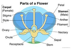 Parts of a Flower Mixed Poster/Mat Pack from Primary Classroom Resources on TeachersNotebook.com (5 pages)  - This handy pack of parts of a flower posters will help during this topic.