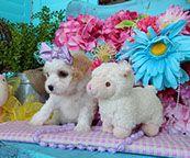 www.cavachonsbydesign.com Cavachon puppies for sale, Cavachon, Cavachons, Cavachon dog, Cavachon pups, Cavachon pup, Cavachons dogs for sale, Cavachon puppies, Cavachons for sale, Cavachon breeder, Cavachon breeders, Bichon Cavachon Puppies, Dogs For Sale, Dog Food Recipes, Pets, Design, Dog Recipes, Animals And Pets