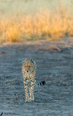 Catwalk by BeenaBalasubramaniam #animals #animal #pet #pets #animales #animallovers #photooftheday #amazing #picoftheday