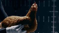 Learn why municipalities who once made them illegal are reconsidering the chicken's place in an urban environment.    The Snug