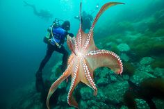 Photograph Giant octopus by Alexander Semenov on 500px