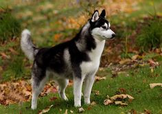 Husky - I would love this dog.