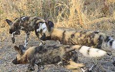 Wild dog    Location: South Africa - Sabie