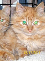 Madison is an adoptable Tabby - Orange Cat in Lombard, IL. ROOF CATS - A woman was foreclosed upon. Before she left, she opened her upstairs windows, allowing the cats out on the roof. What could she ...
