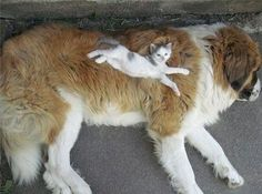 12 Cats Treating Dogs like Pillows! Insanely Adorable.