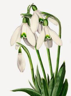Versek, mesék ovisoknak: Gyurcsó István: Fehér ruhás hóvirág