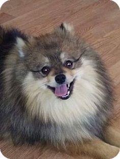 Newtown, CT - Pomeranian Mix. Meet Roscoe, a dog for adoption. http://www.adoptapet.com/pet/15024267-newtown-connecticut-pomeranian-mix