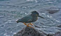 Lava Heron (Butorides sundevalli) or Galapagos Heron. Orange legs show they are in breeding season.