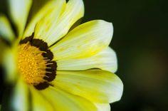 flower gazania delightful daisies