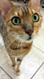SBM seeks AFLF – translation:  Single Bengal Male seeks Any Fun Loving Family  Name: Ace Age: 9 years old Sex: Male Breed: Bengal Neutered: Yes  Foster Location:  Boise, ID  Likes:  Playing, Petting, Exploring  Dislikes:  Dogs