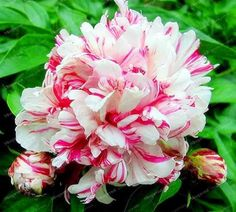 10 Pcs/Lot Paeonia Lactiflora Seeds Heirloom Tree Peony Seeds Hardy Perennial Bonsai Plant Home Garden Potted Flowers Peony Flower, Flower Seeds, Flower Pots, Tree Peony, Peony Plant, Home Garden Plants, House Plants, Exotic Flowers, Beautiful Flowers