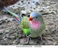 Princess Parrot, native to Australia.  Scientific Name: Polytelis Alexandrae - stock photo