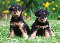 Survey: 15 Dog Breeds New Pet Owners Should Avoid No. 14: Airedale Terrier