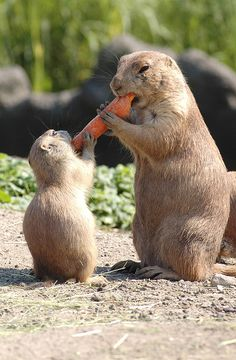 Baby and mom prairie dogs, via Flickr.