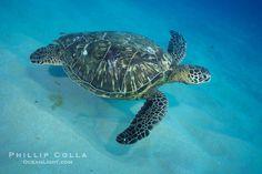 Hawaiian Sea Turtles | Green sea turtle, Maui Hawaii. Maui, Hawaii, USA, Chelonia mydas ...