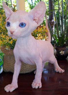 Sphynx cat <3