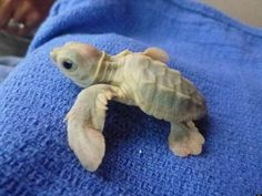This adorable white sea turtle was rescued and rehabilitated in Florida in 2012. Most species of sea turtles are endangered, particularly following ecological disasters. (via Huffington Post)