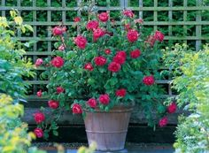 How to grow roses in containers.