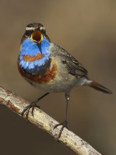 Bluethroat (Luscinia svecica) a small passerine bird that was formerly classed as a member of the thrush family Turdidae, but is now more generally considered to be an Old World flycatcher