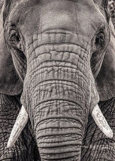 Ideas art reference photos black and white Photo Elephant, Elephant Love, Elephant Art, African Elephant, African Animals, Elephant Photography, Wildlife Photography, Animal Photography, Portrait Photography