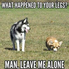 20 Corgi Memes To Make You Wonder What Did We Do To Deserve Them Source by dog dog memes dog videos videos wallpaper dog memes dog quotes dogs dogs pictures dogs videos puppies puppy video Corgi Meme, Husky Humor, Funny Husky Meme, Corgi Dog, Pet Humor, Funny Dog Jokes, Dog Quotes Funny, Dog Memes, Funny Dogs