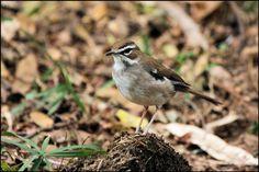 brown scrub robin - Google Search South African Birds, Flycatchers, Garden Birds, Old World, Scrubs, Robin, Westerns, Cape, Google Search