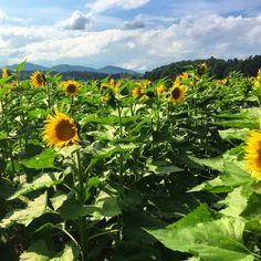 Southern Road Trip: Field of sunflowers, in the French Broad River Valley near the Biltmore Winery, Asheville NC  #sunflowers #winery #vineyards #biltmorewinery #biltmoreestate #flowers #fieldofflowers #nature #natural #panorama #vista #view #wonderofnature #country #countryside #northcarolina #asheville #ashevillenorthcarolina #vast #summer #summerflowers #clouds #valley #frenchbroadrivervalley #sunshine #visitasheville #iloveasheville #blueridgemountains