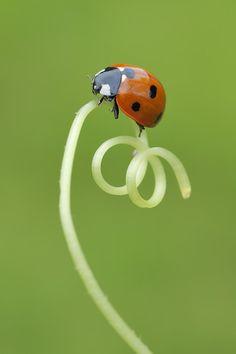 Seven Spot Ladybug On Tendril