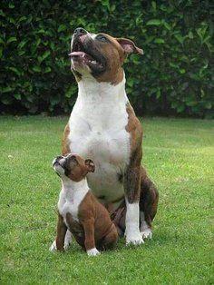 Pitbulls Lovers's photo: Like father like son