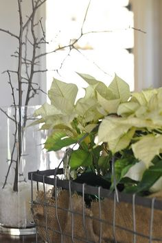 poinsettias in metal baskets with burlap