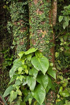 Philodendrons contain toxic oxalates. If the plant is ingested in quantity it will quickly irritate the delicate tissue of the mouth and throat. Swelling of this tissue can then occur which can cut off your air supply.