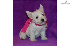 "Meet Lola a cute West Highland White Terrier - Westie puppy for sale for $900. ""Lola"" AKC Female Westie 417-770-0029"