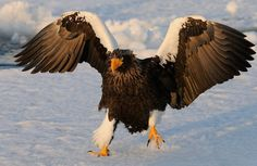 Steller Sea Eagle ~ In Charge Look OUT