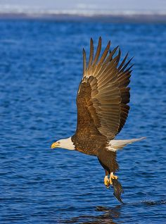 Bald Eagle (Haliaeetus leucocephalus) The bald eagle is named after its conspicuous white (but fully-feathered) head