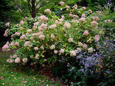 Posts about hydrangea limelight written by Carolyn @ Carolyns Shade Gardens Hydrangea Paniculata, Delphinium, Claremont Hotel, Angel Protection, Gothic Garden, Unusual Plants, Public Garden, Desert Island, Grand Teton National Park