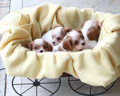 Cavalier King Charles Pups | Flickr - Photo Sharing!