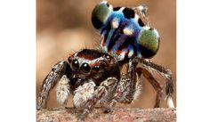 New species of spider found in Aussie - Peacock Spider