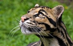 Big Cats ♥   Sunda Clouded Leopard