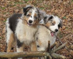 Australian Shepherd Blue Merle ...........click here to find out more http://googydog.com