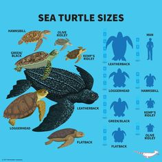 Sea Turtle Sizes